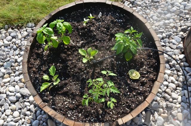 container garden, whisky barrel, ratatouille garden