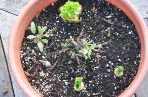 Growing celery pinterest